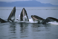 ザトウクジラの共同採餌行動:グループ・バブルネットフィーディ 32258000633| 写真素材・ストックフォト・画像・イラスト素材|アマナイメージズ