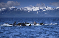 ザトウクジラ 集団で協力しニシンの群れを一度に飲み込む
