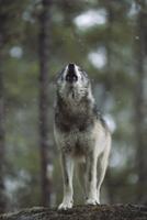 軽い雪の中、遠吠えするタイリクオオカミ