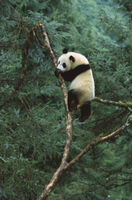 木に登るジャイアントパンダ