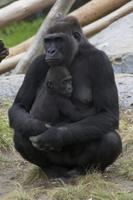 ニシゴリラ(ニシローランドゴリラ)の母子