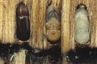 ベイマツ(アメリカトガサワラ)の中で育つキクイムシの仲間(左 32258000833| 写真素材・ストックフォト・画像・イラスト素材|アマナイメージズ