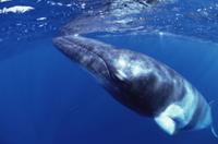 水面に浮かび上がるミンククジラ 32258000873| 写真素材・ストックフォト・画像・イラスト素材|アマナイメージズ