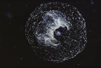 オタマボヤの仲間とハウスと呼ばれる粘液の膜