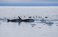 流氷の上のアデリーペンギンを狙うシャチ(オルカ)