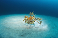 リーフィー・シードラゴンの隠蔽擬態  南オーストラリア固有種 32258000970| 写真素材・ストックフォト・画像・イラスト素材|アマナイメージズ