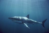 水中を泳ぐホホジロザメ(ホオジロザメ)