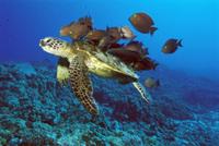 甲羅に付着した藻類を魚に食べてもらうアオウミガメ 32258001002| 写真素材・ストックフォト・画像・イラスト素材|アマナイメージズ