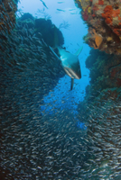 岩礁の間に小魚を追うペレスメジロザメ