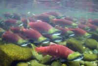 産卵のために川を遡るベニザケの群れ 32258001027| 写真素材・ストックフォト・画像・イラスト素材|アマナイメージズ