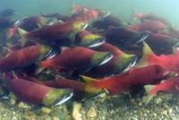 産卵のために川を遡るベニザケの群れ
