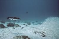 沿岸の浅瀬で小魚の群れを追って泳ぐガラパゴスペンギン