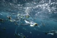 繁殖コロニーの近くの海中を泳ぐオウサマペンギン(キングペンギ