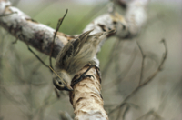 サボテンの針を使い枯れた木から地虫をとるキツツキフィンチ
