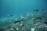 小魚の群れを追って泳ぐガラパゴスペンギン