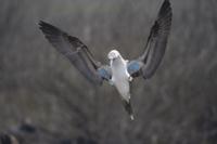 青い足を見せて求愛着地するアオアシカツオドリのオス
