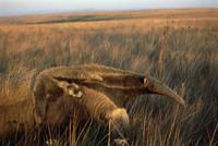 日没時の乾燥したセラードで子供を背に乗せて採食するオオアリク 32258001232| 写真素材・ストックフォト・画像・イラスト素材|アマナイメージズ