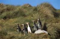 草陰に隠れた巣に向かう5匹のキンメペンギン(グランドペンギン