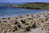 ニュージーランドアシカの最盛期の集団営巣地(繁殖コロニー)