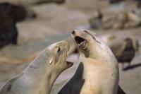 集団営巣地(繁殖コロニー)の中でケンカをするニュージーランド