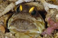 口内保育するアゴアマダイの仲間のオスの顔