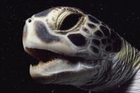 アオウミガメの顔のアップ 32258001402| 写真素材・ストックフォト・画像・イラスト素材|アマナイメージズ