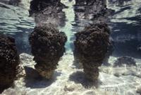 ストロマトライト ラン藻類のコロニー 現在残る最古の現生スト