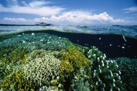 海面のすぐ下の造礁サンゴ(イシサンゴ)の群生