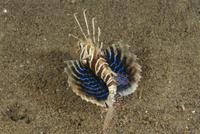 胸びれを広げた海底のセトミノカサゴ 32258001470| 写真素材・ストックフォト・画像・イラスト素材|アマナイメージズ