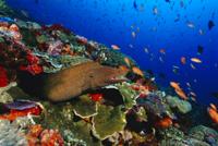 サンゴ礁から頭を出したワカウツボ