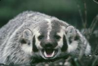 口を大きく開けて威嚇するアメリカアナグマ