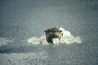 川で魚を捕る途中、氷を割って水面に顔を出したカナダカワウソ