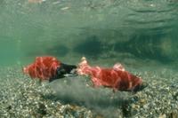 水中の二匹のヒメマス(ベニマス)