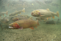 水中のカットスロートトラウトの群れ