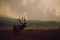 夕暮れに上がる山火事の煙とたたずむワピチ(エルク)