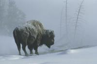 雪が降る中に立つアメリカバイソン