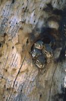 樹洞の巣穴から顔を出すアメリカアカリスの4匹の子