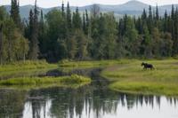 湿地を歩く若いヘラジカ(ムース)のオス