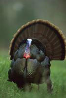尾羽を広げてポーズを取るシチメンチョウのオス