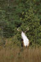 白い尾の裏側を見せながら森に逃げるオジロジカのオス