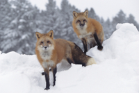 雪の中の二匹のアカギツネ