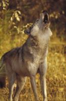 吠えるタイリクオオカミ