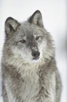 鼻に雪のついたタイリクオオカミの顔