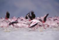 水面から飛び立つコフラミンゴの一群