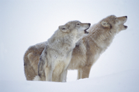 雪の中で吠えるタイリクオオカミのペア