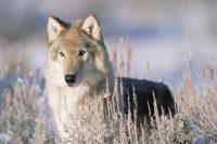 冬のタイリクオオカミ