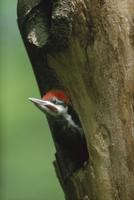 樹洞の巣穴から顔を出すエボシクマゲラ