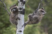 木にのぼって遊ぶ2頭のアライグマの子