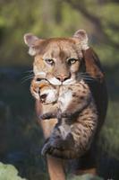 子を口にくわえて運ぶピューマ(マウンテンライオン)のメス