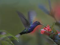 花蜜を採餌するムラサキケンバネハチドリ